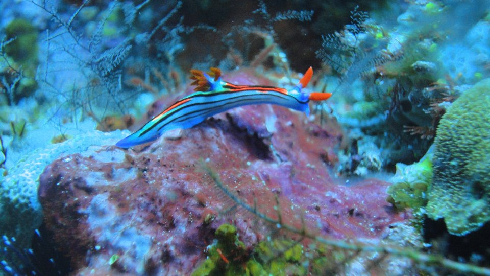 nudibranche archipel d'Alor